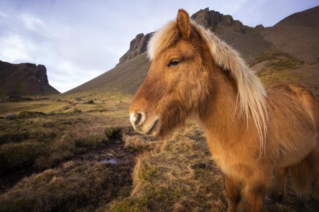 horses in iceland, iceland, hofn, icelandic, europe, western europe, scandinavia, nordic island,