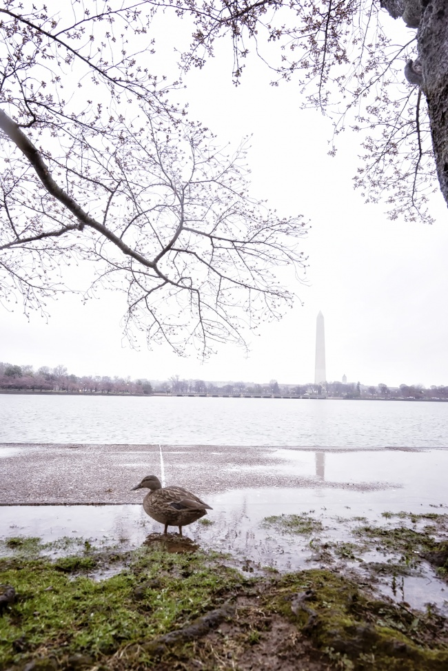 cherry blossoms, washington dc, cherry blossom forecast, 2017, spring, flowers, trees, tidal basin, walk with locals, instagram, events, march 22-25th, peak date, camera settings, duck, washington monument, trees, puddles, rain, snow, grey, dark, iso, f6.3, wide angle lens, meetup group, wwl, photoshoot, outdoors