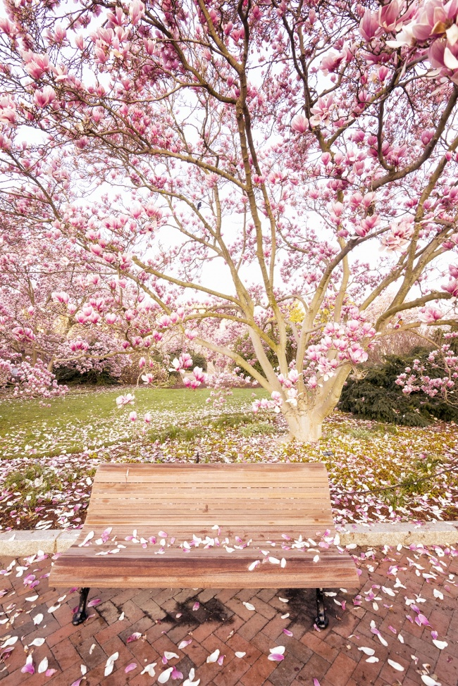 Saucer Magnolias, washington dc, smithsonian castle, smithsonian garden, nature, pink, magnolias, enid a haupt garden, national mall, public garden, park bench, cherry blossoms, pedals, tidal basin, flowers, frankenstein, snow, winter, cold, accumulation