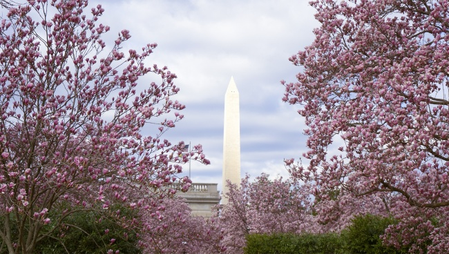 magnolia, magnolia trees, washington dc, hirshhorn museum, yayoi kusama, infinity mirrors, washington monument, smithsonian, smithsonian institution building, smithsonian castle, enid a haupt garden, cherry blossoms, pink, framing, photography, photo, friends, tidal basin, flowers