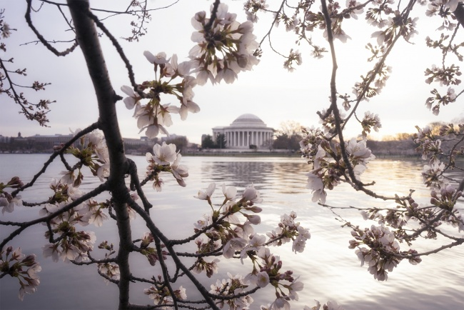cherry blossoms, thomas jefferson, memorial, washington dc, sunrise, early morning, rain, weather, bloom, peak bloom, camera settings, travel, composition, framing, leading lines, east coast, spring,