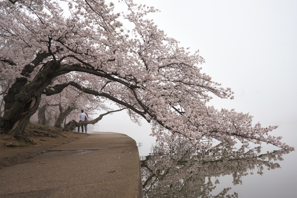 cherry blossoms dc, washington dc, sakura, cherry blossom, fog, sunrise, early morning, spring, cherry blossom branch, couple, selfies, sakura, camera settings, zoom lens, sony a7ii, jefferson memorial, tidal basin