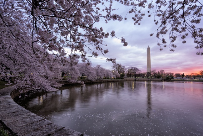 i hate cherry blossoms, capital weather gang, washington post, cherry blossoms, sakura, gift, japan, japenese, tidal basin, sunrise, washington dc, fake news, appreciation, gratitude, controversy, negative, feelings, beauty