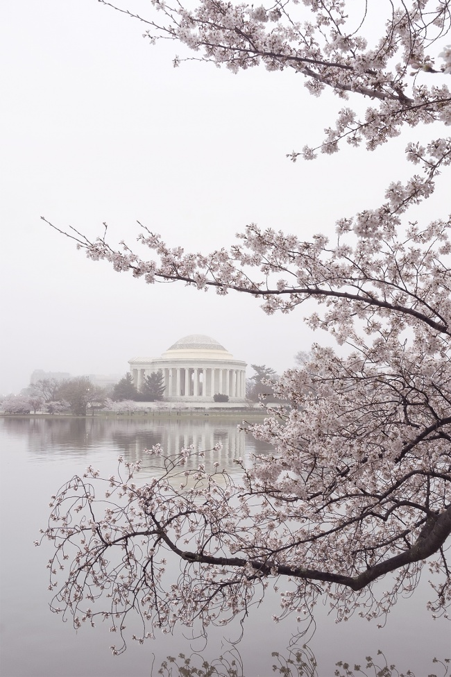 cherry blossoms, tidal basin, washington dc, sakura, fog, composition, frame, incorporating people, line, shape, color, fog, weather, visit, travel, challenge, photo, photography, editing, different perspective