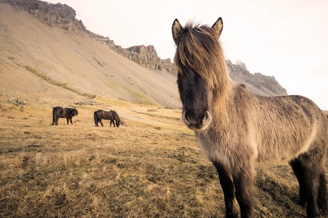 iceland, höfn, travel, hotel, horses, stokksnes, plan, visit, sony a7ii, mirrorless, point of view, camera, photography, photo, horses, hair, hand strap, peak dseign, background, island,