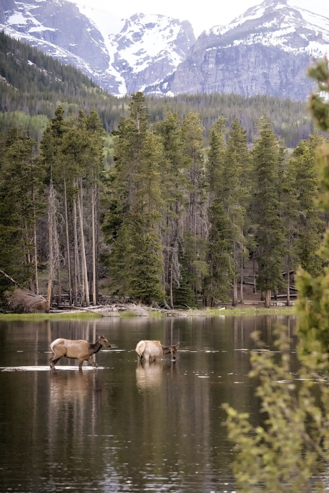 rocky mountain national park, deer, trail, sprauge lake, sunset, deers, baby, wildlife, water, reflection, story, colorado, national park, visitors, tourists, pictures,