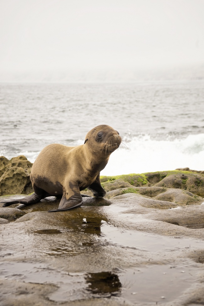sea lion, baby, puppy, california, ca, june gloom, road trip, travel, farmers market, beach, la jolla, cove, rocks, puddles, visit, tourist, chill, stay classy, san diego, southern California, cali, seal, cute