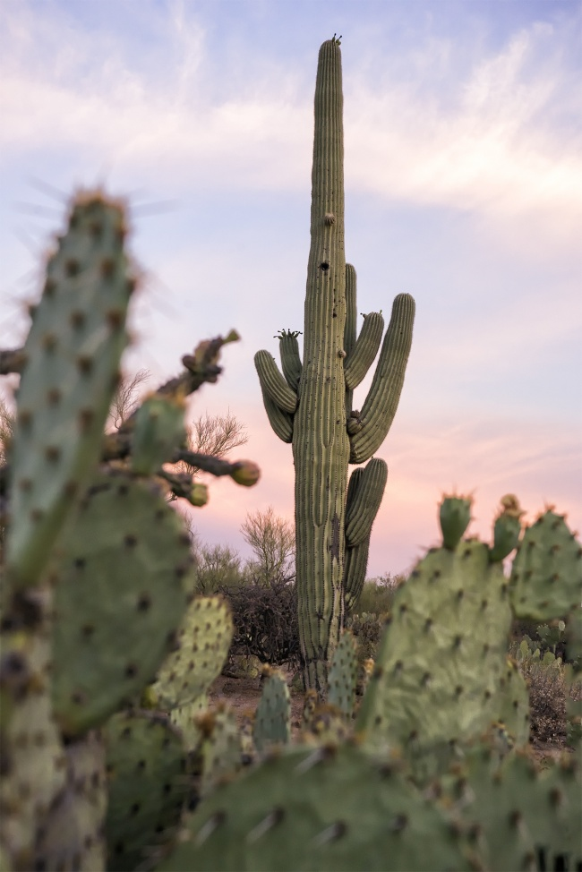 Saguaro, cactus, national park, tucson, arizona, mountain district, signal hill trail, east end, mountain district, cactus forest drive, desert, landscape, foreground, green, heat wave, photographer, photography, sunset