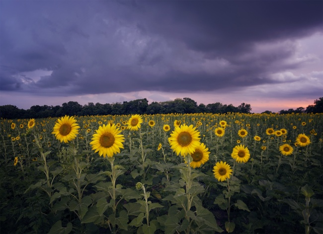 sunflowers, sunflower field, maryland, md, mckee beshers, sunset, storm, bugs, mosquitos, photography, photo, landscape, summer, bug spray, mckee beshers, poolesville, md, flowers, sunset, camera settings, instagram