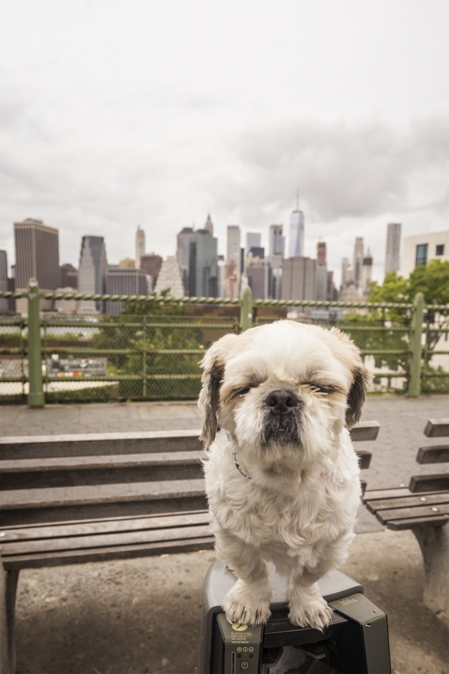 frankenstein woopan, frankie, shih tzu, new york, ny, nyc, manhattan, skyline, brooklyn, brooklyn heights promenade, car, neighborhood, dog, houses, travel, visit, trip, city, cloudy,