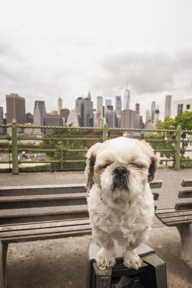 frankenstein woopan, frankie, shih tzu, new york, ny, nyc, manhattan, skyline, brooklyn, brooklyn heights promenade, car, neighborhood, dog, houses, travel, visit, trip, city, cloudy,