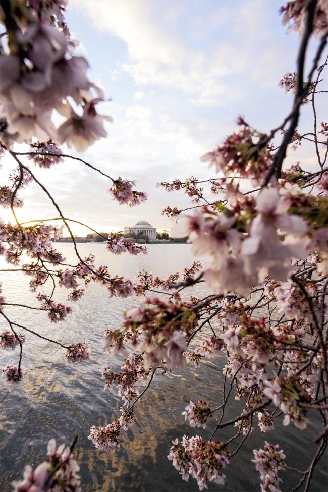 shooting tips, cherry blossoms, spring, washington dc, jefferson memorial, sakura, composition, framing, line, focus, sharp, camera settings, spring, winter, tidal basin, visit, travel, tips