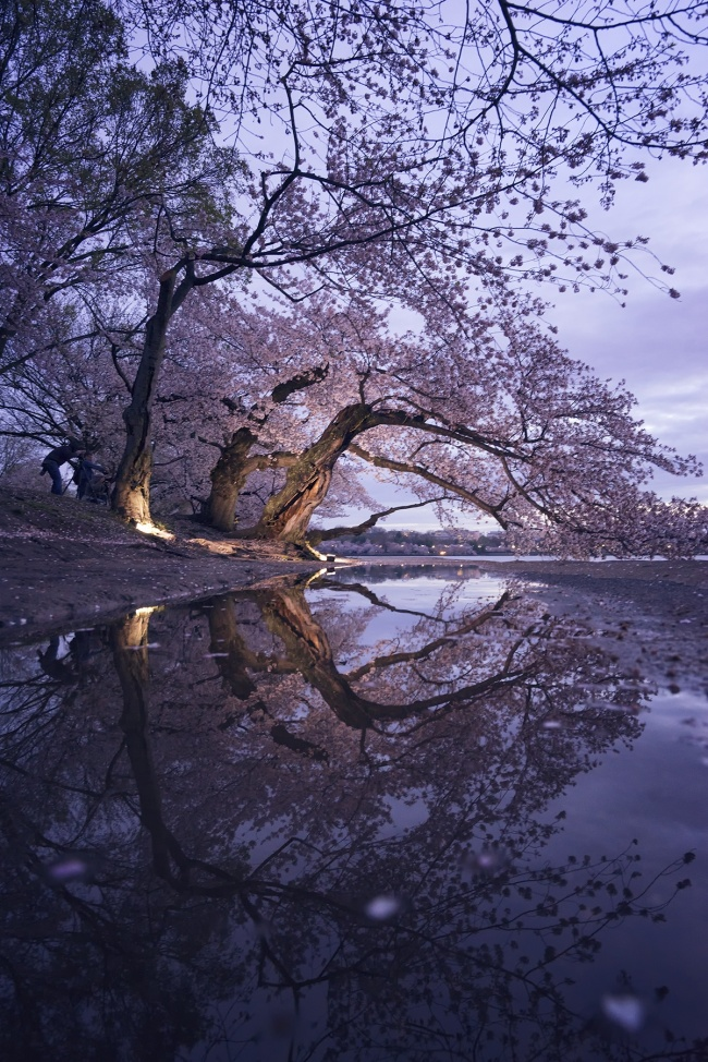 washington dc, cherry blossoms, tidal basin, reflection, puddle, cherry blossom trees, photographers, photo, available light, sunrise, early light, flashes, strobes, petals, flowers, spring, early morning, confidence