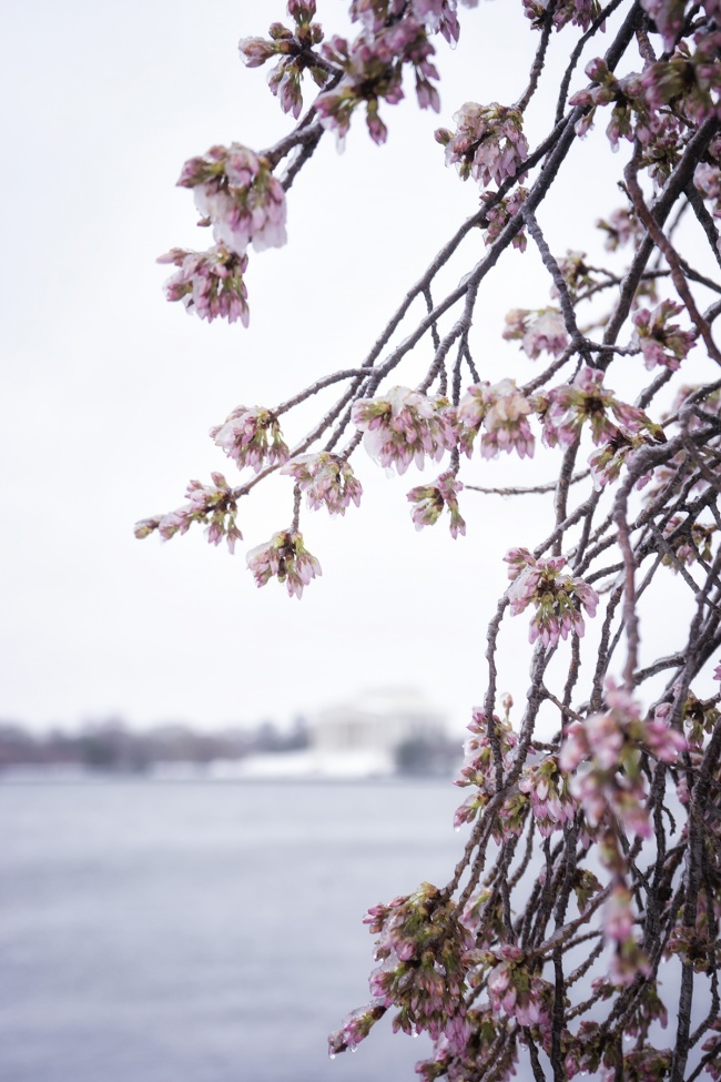 cherry blossoms, tidal basin, washington dc, snow, winter storm stella, jefferson memorial, snow, ice, rain, peak bloom, visit, travel, spring, winter, cold, people, crowds, fog, early morning
