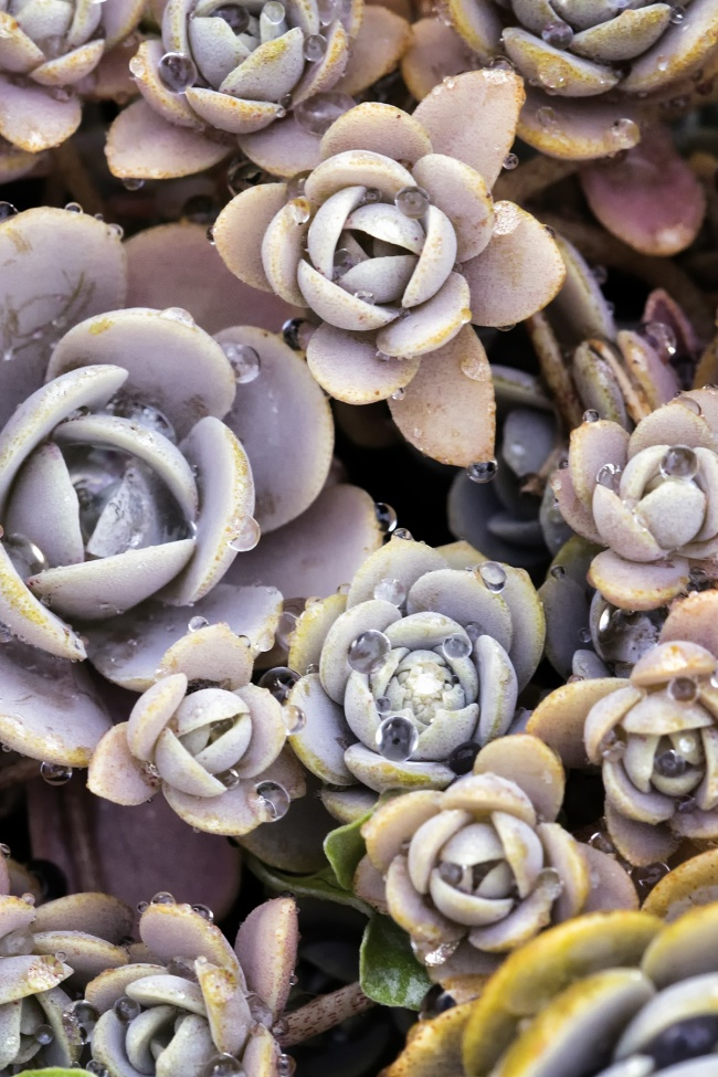 Succulents, US botanical gardens, united states botanical gardens, capitol, capital, national mall, garfield circle, flower, water droplets, close up, flora, macro, sony, canon, metabones