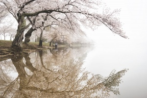 Cherry Blossoms at the Tidal Basin, Washington DC, spring, national mall, cherry trees, reflection, west potomac park, potomac river, national cherry blossom festival, branches