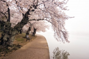 cherry blossoms, tidal basin, fog, reflection, water, spring, weather, washington dc, national mall, capital, sakura, cherry trees, pink, snow,