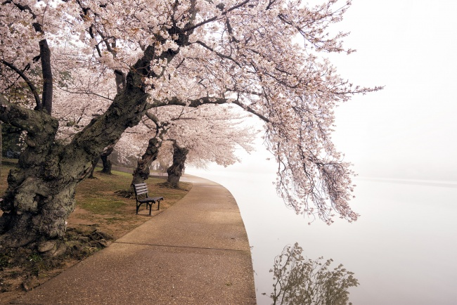 cherry blossoms, tidal basin, fog, reflection, water, spring, weather, washington dc, national mall, capital, sakura, cherry trees, pink, snow,