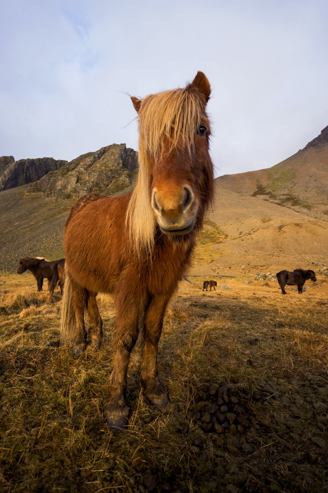 icelandic horse, iceland, höfn, camera strap, peak design, clutch, landscape, sunrise, early morning, nordic island, travel, visit, 2017, photo, adventure, fun