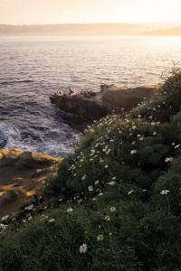 La Jolla Cove, san diego, la jolla, california, socal, farmers market, sea lions, seals, early morning, flowers, glow, beach, cliff,