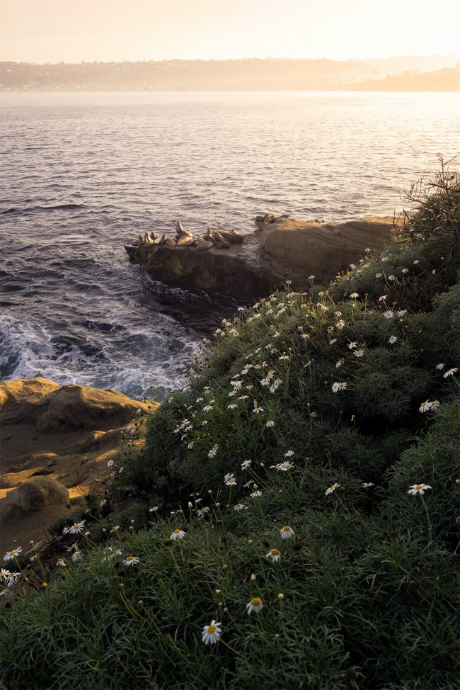 La Jolla Cove, san diego, la jolla, california, socal, farmers market, sea lions, seals, early morning, flowers, glow, beach, cliff,
