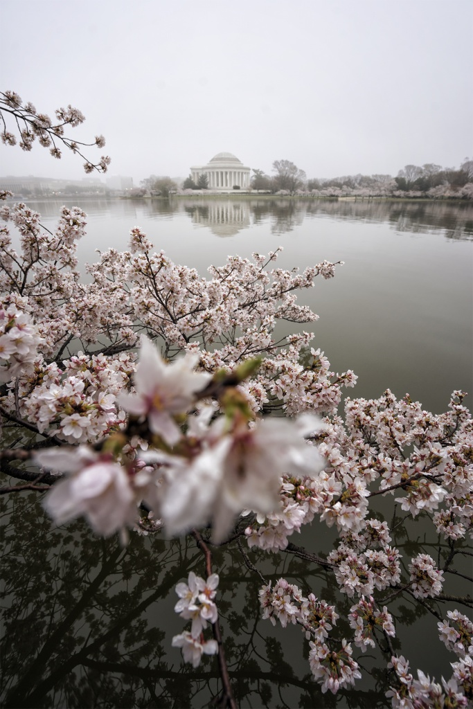 Tidal Basin, Cherry Blossoms, Fog, national mall, washington dc, cherry blossom tree, jefferson memorial, early morning, west potomac park, branches, reflection, spring, visit, travel, flowers, painting, watercolor, grandma, nai nai, pink flowers, chinese water color paintings