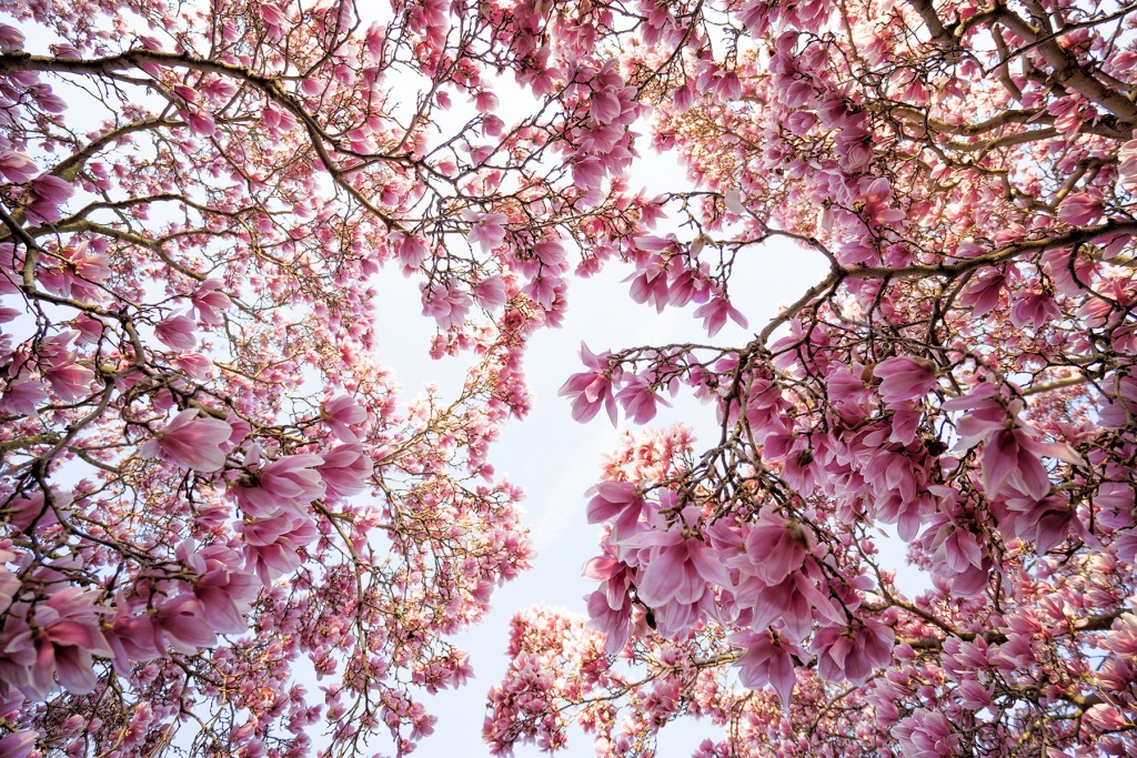 magnolia trees, pink petals, flowers, spring, washington dc, national mall, smithsonian castle, enid a haupt, garden, sunrise, early morning, looking up