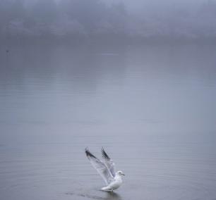 seagulls, gulls, birds, portrait, ripples, water, fishing, washington dc, tidal basin, cherry blossoms, fog, early morning, photography, ripples,