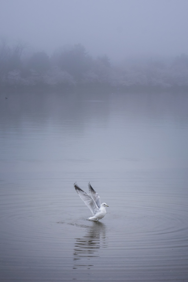 seagulls, gulls, birds, portrait, ripples, water, fishing, washington dc, tidal basin, cherry blossoms, fog, early morning, photography, ripples,
