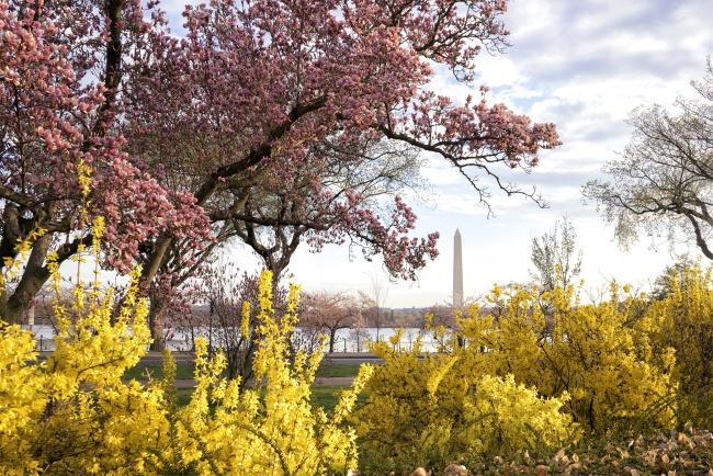 George Mason Memorial, Washington DC, magnolias, spring, national mall, tidal basin, cherry blossoms, landscaping, flowers, photography, travel, cherry blossom festival