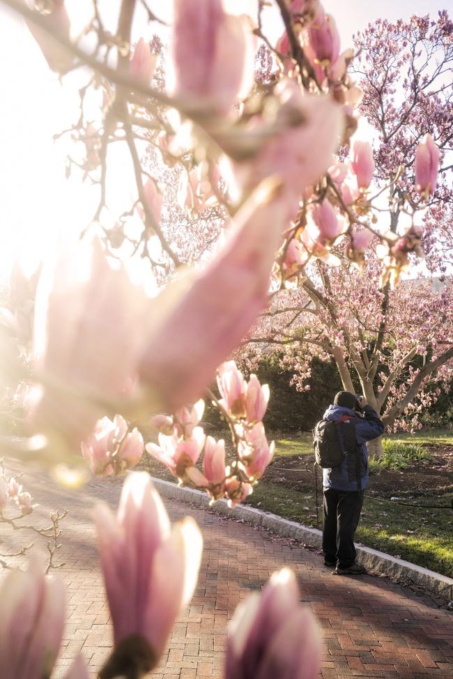 Enid A Haupt Garden, smithsonian castle, national mall, magnolias, spring, early morning, magnolia trees, photographer, photography, washington dc, smithsonian institute, garden,
