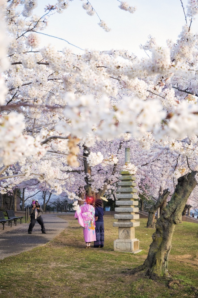 cherry blossoms, tidal basin, national mall, washington dc, japanese pagoda, photoshoot, spring, trees, komono, peak bloom, pink, umbrella