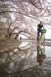Cherry Blossoms, washington dc, national mall, tidal basin, puddles, reflection, early morning, spring, sunny day, lime bike, candid, friends,