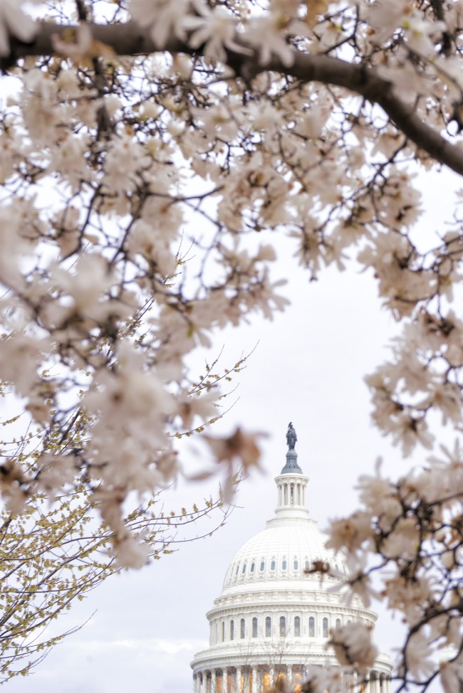 US Capitol Dome, Washington DC, spring, flowers, snow, frame, us capitol, grounds, building, architecture, nature, pink, cherry blossoms,