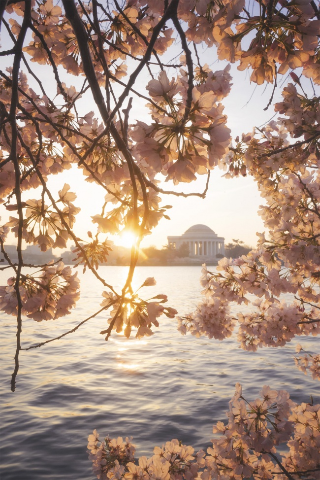 Cherry Blossoms, Jefferson Memorial, washington dc, national mall, trust for the national mall, ball for the mall, evening, sunrise, sun burst, cherry blossom trees, pink flowers, spring, tidal basin,