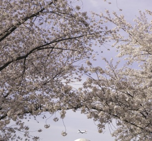Jefferson Memorial, Cherry Blossoms, Washington DC, tidal basin, spring, flowers, framing, airplane, dca, reagan airport, flyover, paddle boats, birch, swan paddle boat, things to do, national mall, dome, architecture, sakura, pink
