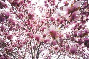 Snapshot Project Bangladesh, bangladesh, 100 cameras, sponsorship, donations, help, underprivileged kids, dhaka, langley, lhs, students, gofundme, 100cameras bangladesh, magnolia trees, spring, pink, flowers