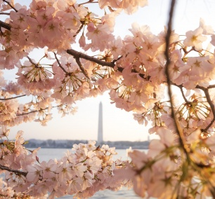 Japanese Cherry Blossom Trees, Tidal Basin, washington dc, washington monument, jarrett hendrix, early morning, sun, glow, national mall, sakura, spring, pink, blossoms, flowers, framing, composition