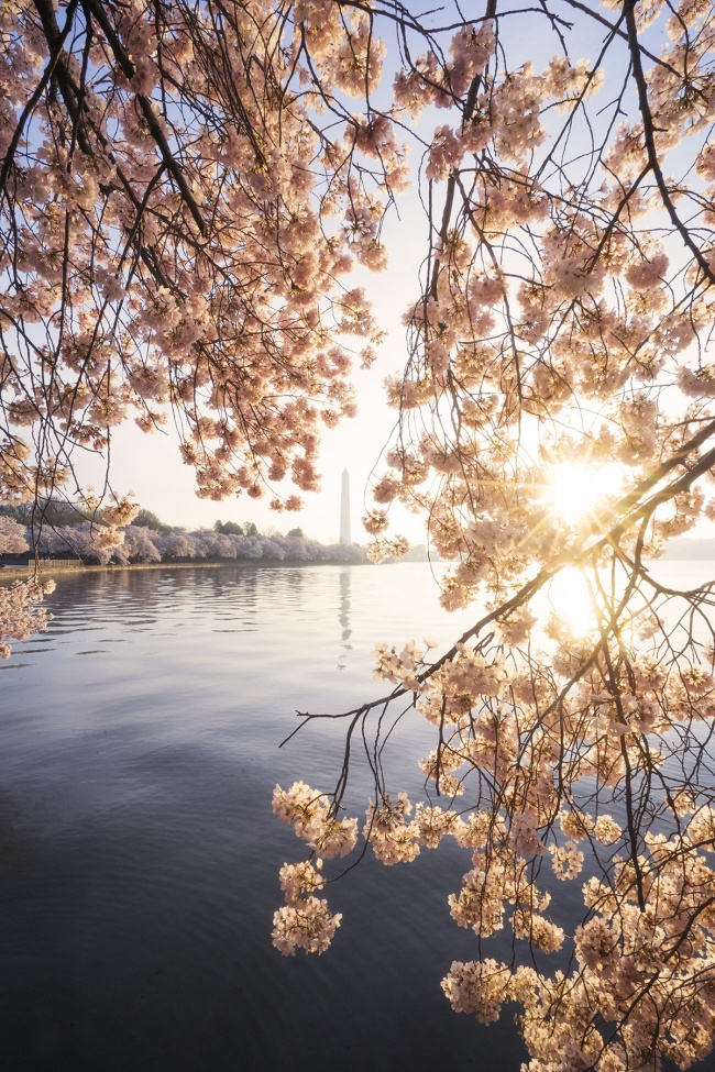 Washington Monument, Cherry Blossoms, tidal basin, sunrise, early morning, ohio drive, national mall, flowers, pink flowers, blue skies, sunburst, spring,