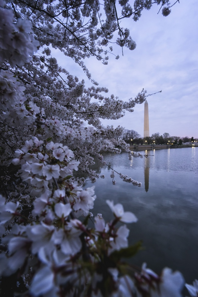 Washington DC, Cherry Blossom Trees, tidal basin, national mall, washington dc, grey skies, early morning, trees, cherry blossoms, flowers, frame, washington monument, navin sarma,