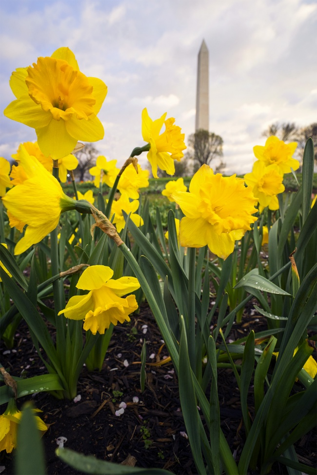 Floral Library, Washington DC, tidal basin, yellow flowers, daffodil, spring, tulips, washington monument, national mall, perspective, camera,