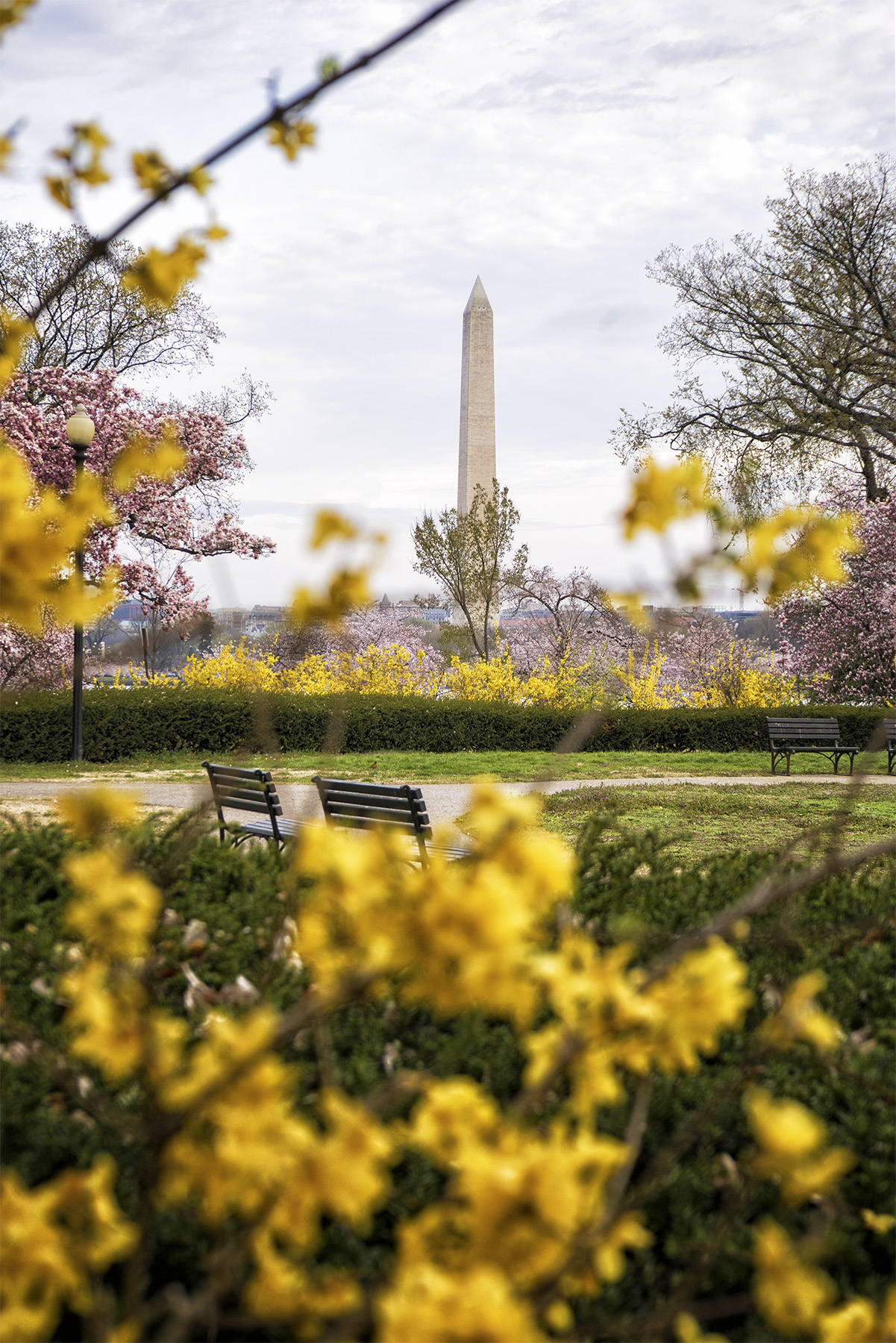 George Mason Memorial, washington dc, magnolias, spring, cherry blossoms, yellow, flowers, garden, national mall, composition, snapdc