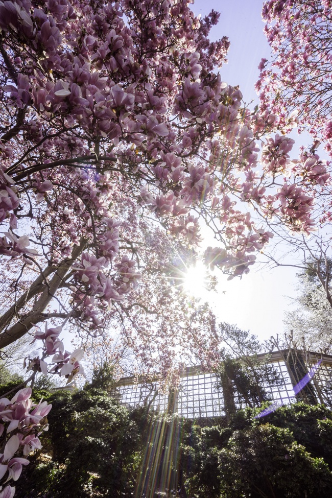 Magnolias, Dumbarton Oaks, spring, georgetown, washington dc, parks, gardens, pink flowers, photography, snapdc, guide, photoguide