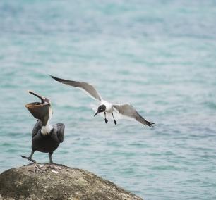 Birds of Aruba, brown pelican, seagull, fish, ocean, water, Caribbean, island, island life, travel, aruba, one happy island, oranjestad, renissance, hotel,