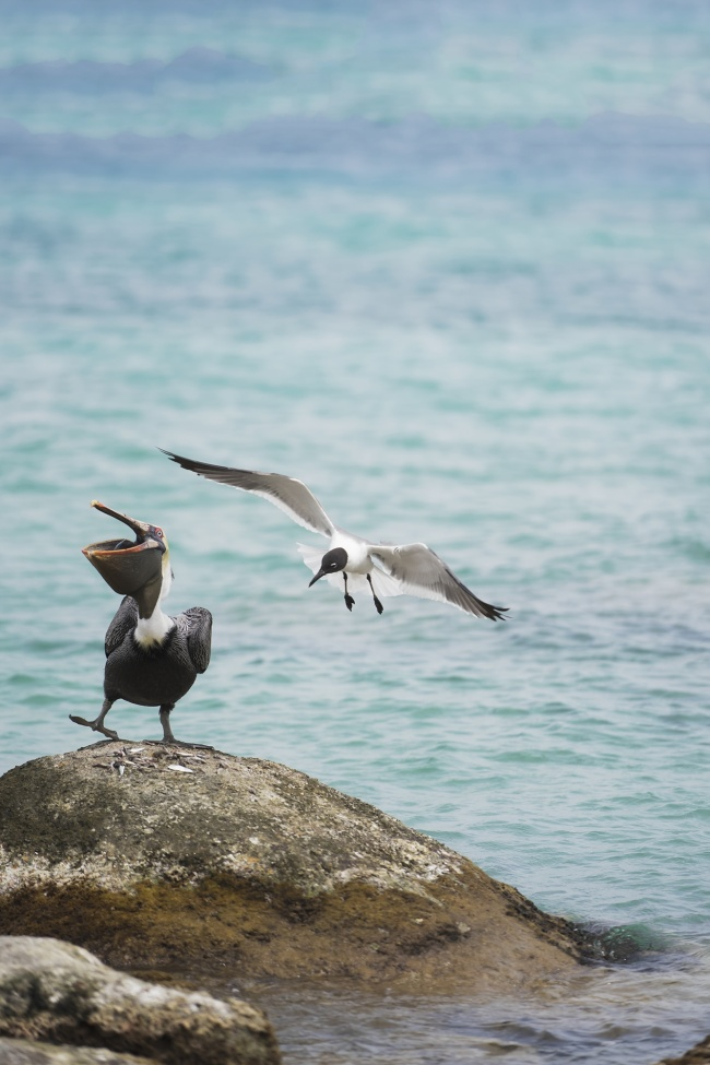 Birds of Aruba, brown pelican, seagull, fish, ocean, water, Caribbean, island, island life, travel, aruba, one happy island, oranjestad, renissance, hotel,
