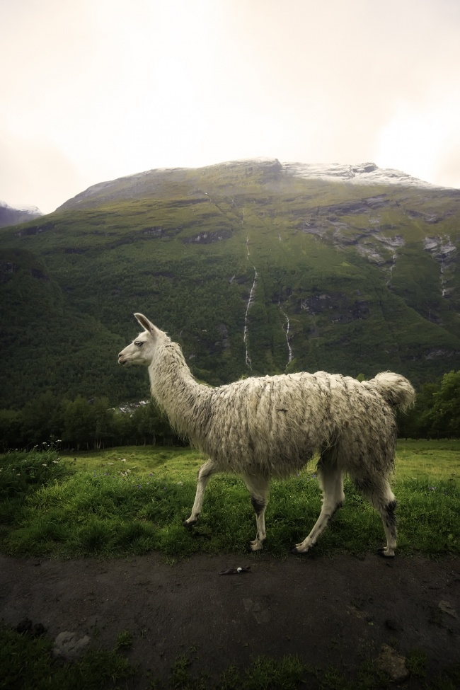 norway, alpaca, hike, travel, Geiranger, geirangerfjord, waterfalls, mountains, alpacas, europe, viking, scandinavian,