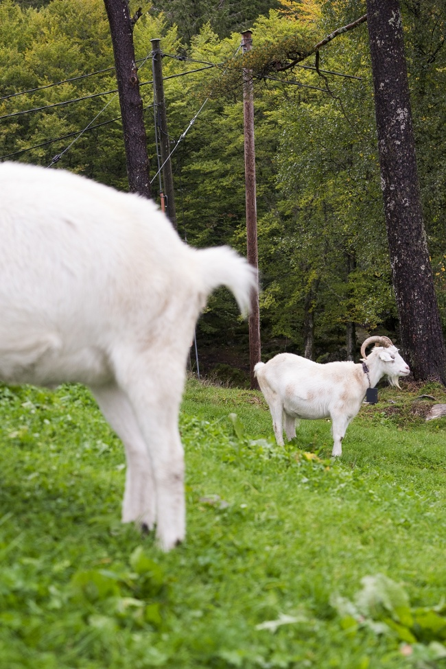 Norwegian Goat, norway, travel bergen, fløyen, fløibanen funicular, mountain, best view, views, goats, animals, travel, visit,