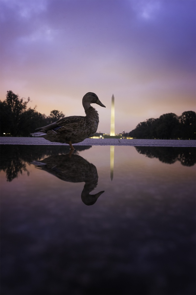DC Ducks, washington dc, reflecting pool, puddle, reflection, ducks, washington monument, early morning, dawn, purple skies, lincoln memorial, national mall, home