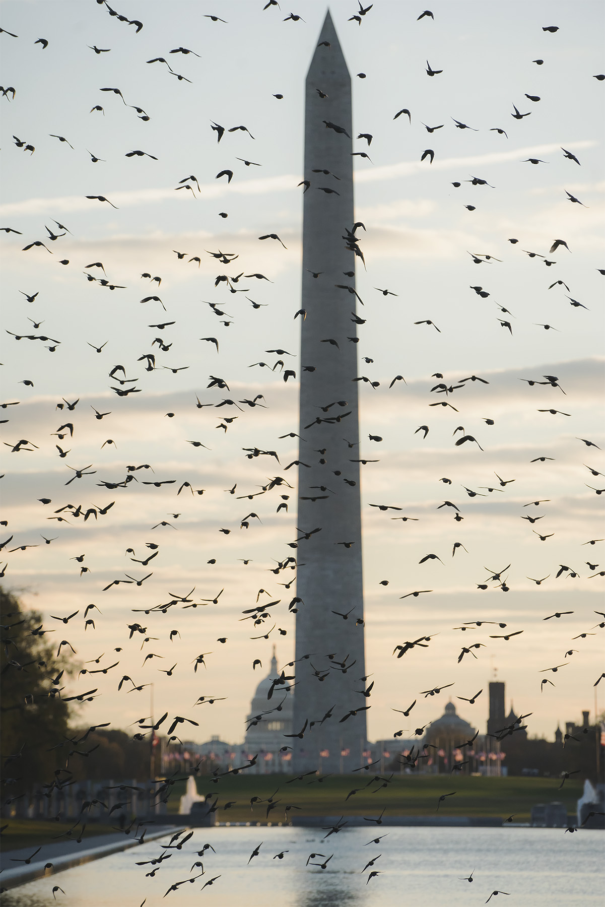 Birds of DC, national mall, washington dc, reflecting pool, lincoln memorial, black birds, washington monument, us capitol, early morning, sunrise, images, photos