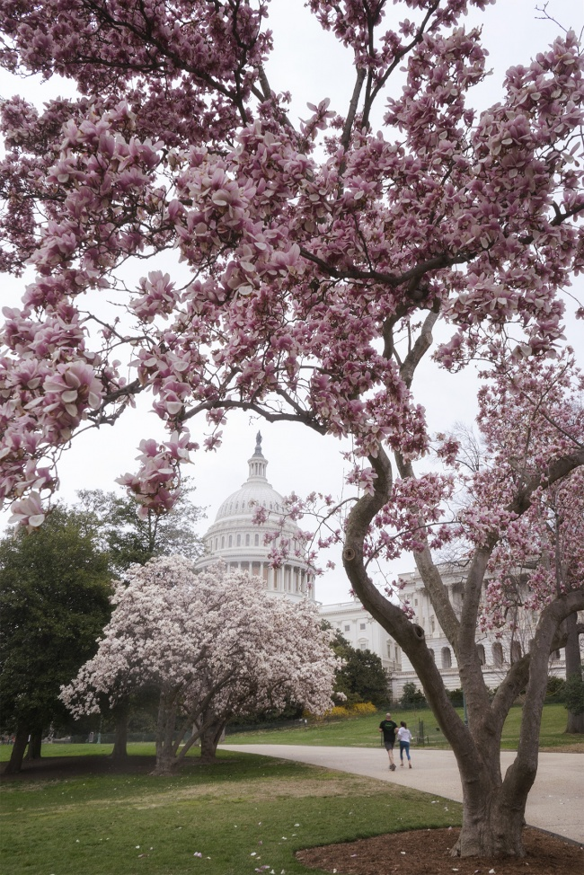 Magnolia Tree in Bloom, washington dc, us capitol, capitol hill, capitol building, national mall, spring, cherry blossoms, pink magnolia trees,